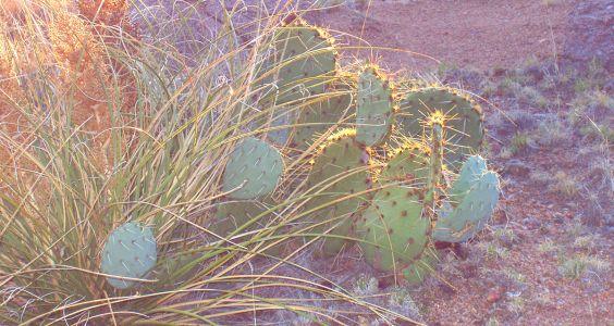 Domingo Baca Cactus