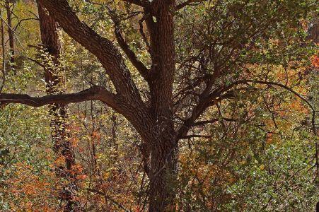 Gila Oak