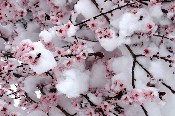 indigenous-Snow-Blossoms